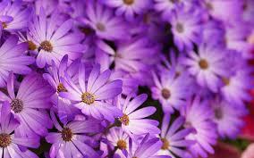 purple flower purple flowers hd hd desktop background