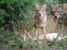 Coyote In My Backyard You Can Shoot Eastern Coyotes Coywolves From Inside Your Home In