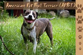 american pitbull terrier types stunning facts about the different breeds of pit bulls with pictures