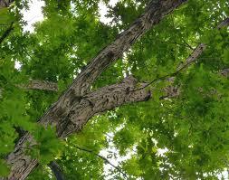 White Oak Tree Bark Nature Rambling Ramble Report May 26 2016