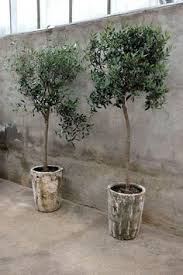 citrus plants in beautiful containers ideas plants