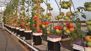 all about gardening tomato growing methods hydroponics vs soil