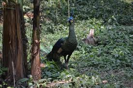 merak hijau paket wisata lengkap di taman mini indonesia indah