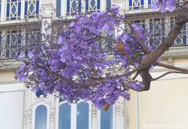 Tree With Purple Flowers Trees Of Andalucia List Of Trees Native To Andalucía Andalucia Com