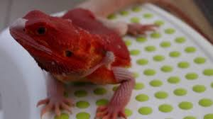 achiles bearded dragon red coral hypotrans male agama