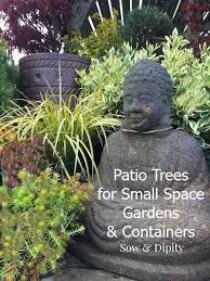 best 25 patio trees ideas on grape tree potted trees