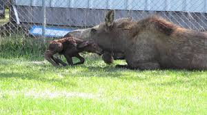 moose gives birth to twins in backyard in alaska animals