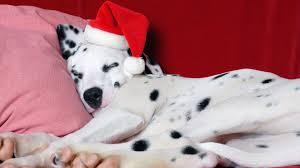 dalmatian dog personality appearances history and pictures