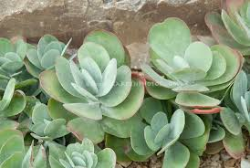 Succulent And Cacti Pictures Gallery Garden Design Kalanchoe Thyrsiflora Plant U0026 Flower Stock Photography