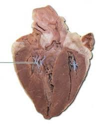 Sheep Heart Anatomy Quiz Sheep Heart Flashcards Course Hero