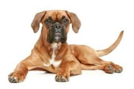 boxer dog health questions boxer dog heat cycles the female boxer