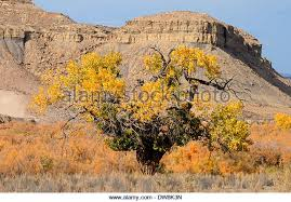 Cottonwood Tree Flowers - fremont cottonwood tree populus fremontii stock photos u0026 fremont