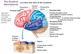 Which Part Of The Brain Consists Of Two Hemispheres The Cerebral Hemispheres
