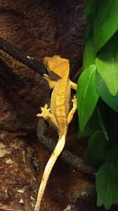 Halloween Crested Gecko Morph by 98 Best Crested Gecko Images On Pinterest Crested Gecko Reptile