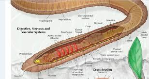 human circulatory system diagram anatomy chart body