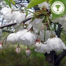 8 best phoebe s memorial tree images on flowering
