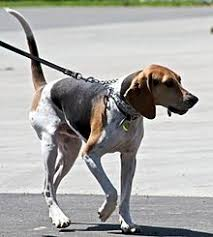 bluetick coonhound and bloodhound mix treeing walker coonhound wikipedia