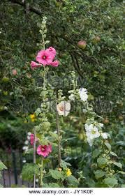 Hollyhock Flowers Hollyhock Hollyhocks Alcea Malvaceae Flower Flowers Wild Growing