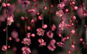 cherry blossoms desktop free wallpaper these lift my spirits