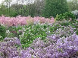lilac collection brooklyn botanic garden