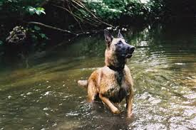belgian shepherd or malinois get to know the belgian malinois one tough customer