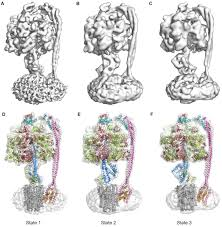 cryo em structures of the autoinhibited e coli atp synthase in