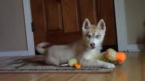 a husky puppy thanksgiving siberian husky puppies for sale