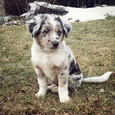 australian shepherd dog for sale gorgeous australian shepherd puppies beautiful markings dogs