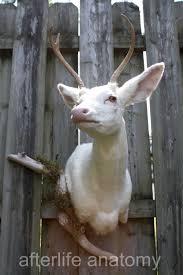 seen on oddities taxidermy albino deer head shoulder mount rare