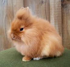 lionhead rabbit lionhead rabbit