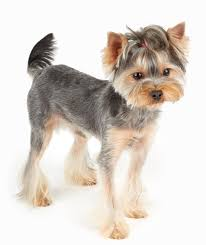types of yorkie haircuts pictures the yorkie coat facts care grooming haircut styles