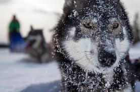 belgian shepherd vs husky the 10 most expensive purebred dogs ever rover com