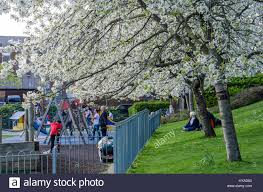 ornamental trees covered in delicate white cherry blossom overhang