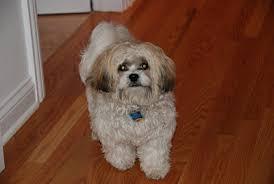 shichon haircuts all about shichon zuchon dog a shi tzu 石姿 bichon hybrid