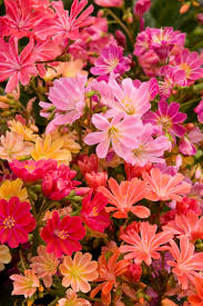 Learn More About Full Sun by Hybrid Mix Lewisia Monrovia Its Hardiness And Ease Of