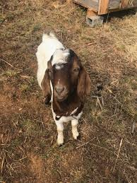 hello from tn goat mom backyardherds com