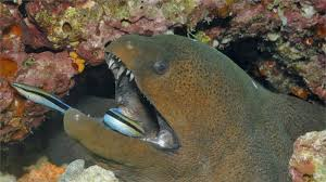don u0027t feed a moray eel national geographic