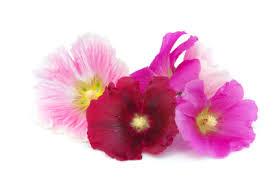 Hollyhock Flowers Fun Flower Facts Hollyhock Grower Direct Fresh Cut Flowers