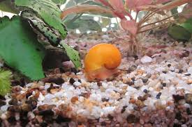 tips to help rid your aquarium of snails