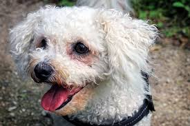 bichon frise 17 years old all about bichon frise costs pricing breeders and more pet