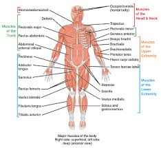 the muscular system actions u0026 physiological processes study com