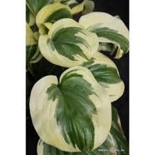 Fragrant Shade Plants - 23 best fragrant hostas images on pinterest shade plants garden