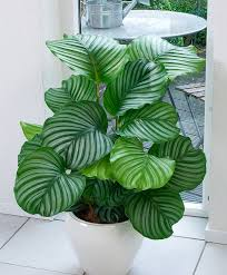 air freshening plants calathea orbifolia plants from spalding