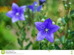 campanulla flower in nature spring background with blooming