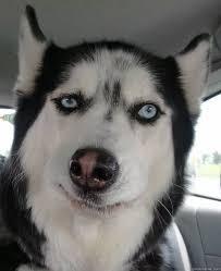 Sarcastic Face Meme - sarcastic dog quickmeme