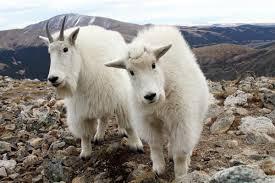 top 10 most dangerous goat breeds