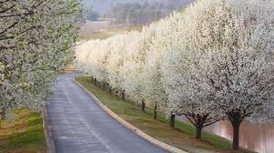 why bradford pears are the worst tree