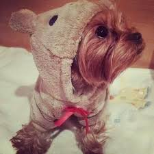 Halloween Costumes Yorkies 76 Yorkies Costumes Images Yorkies Animals
