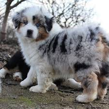 australian shepherd blue eyes 109 best puppies images on pinterest animals australian