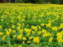 groundcovers turfgrass